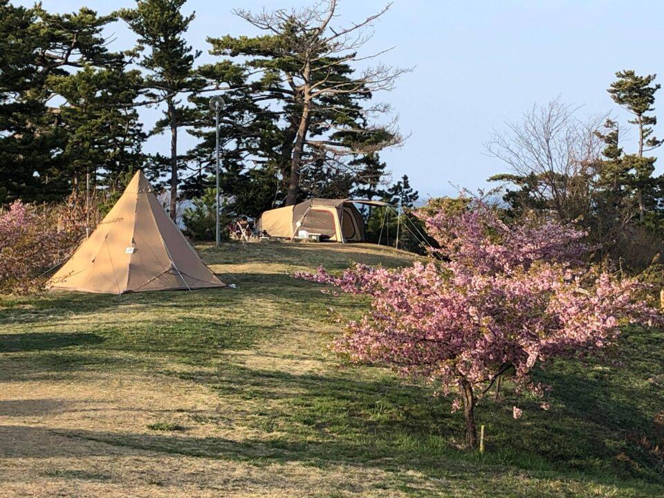 キャンプ場の桜が見頃です!