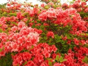 田束山の開花状況について(5月29日現在)