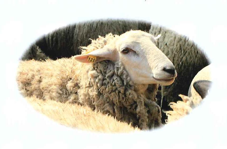 第2回ヒツジの毛刈りショー開催のお知らせ
