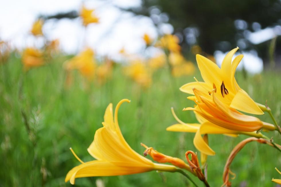 【神割崎】ニッコウキスゲ(ゼンテイカ)が咲いています