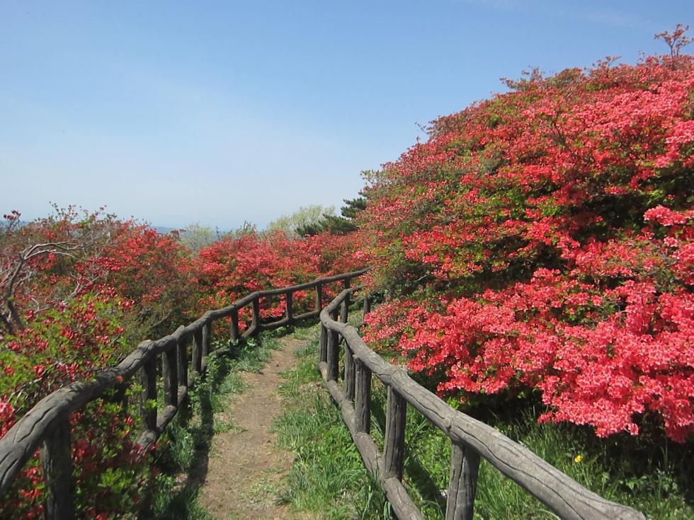 田束山 つつじ開花状況 5/6現在