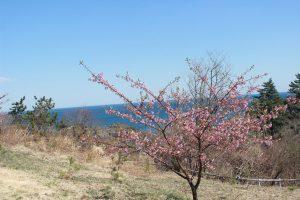南三陸にも春がやってきました・・・