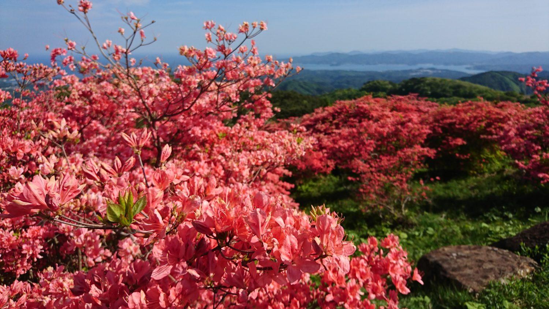 田束山(たつがねさん)つつじ開花状況
