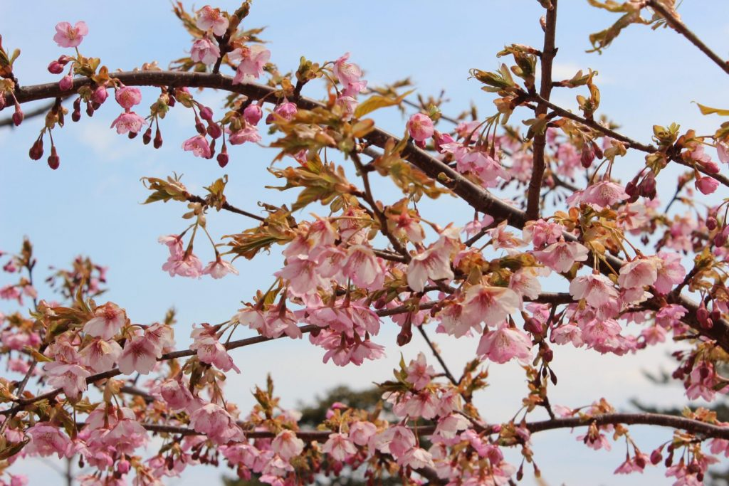 春を告げる訪問者「JHP三島桜プロジェクト」