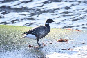 ラムサール条約登録湿地「志津川湾」でコクガンを観察しよう♪♪