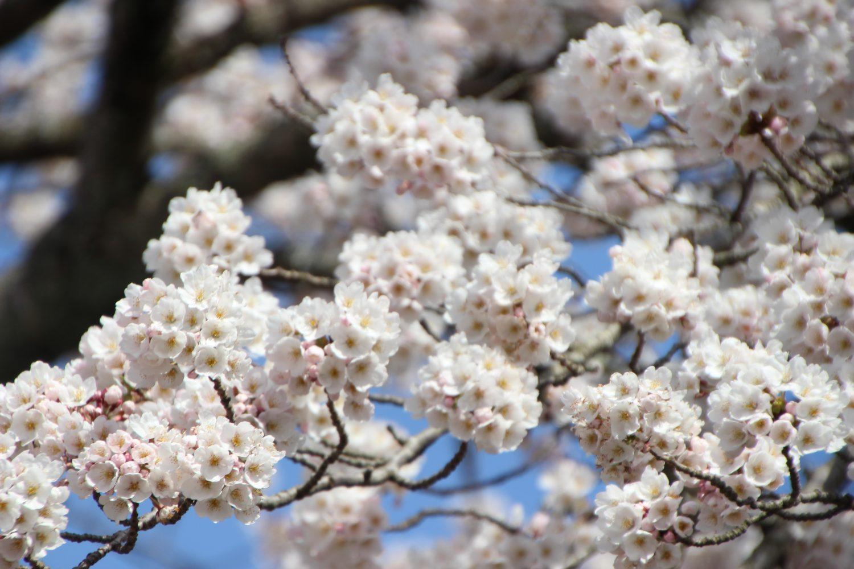 【4/12更新】南三陸の春をお届け~勝手に桜開花宣言~