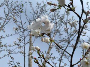 南三陸の桜をお届け!